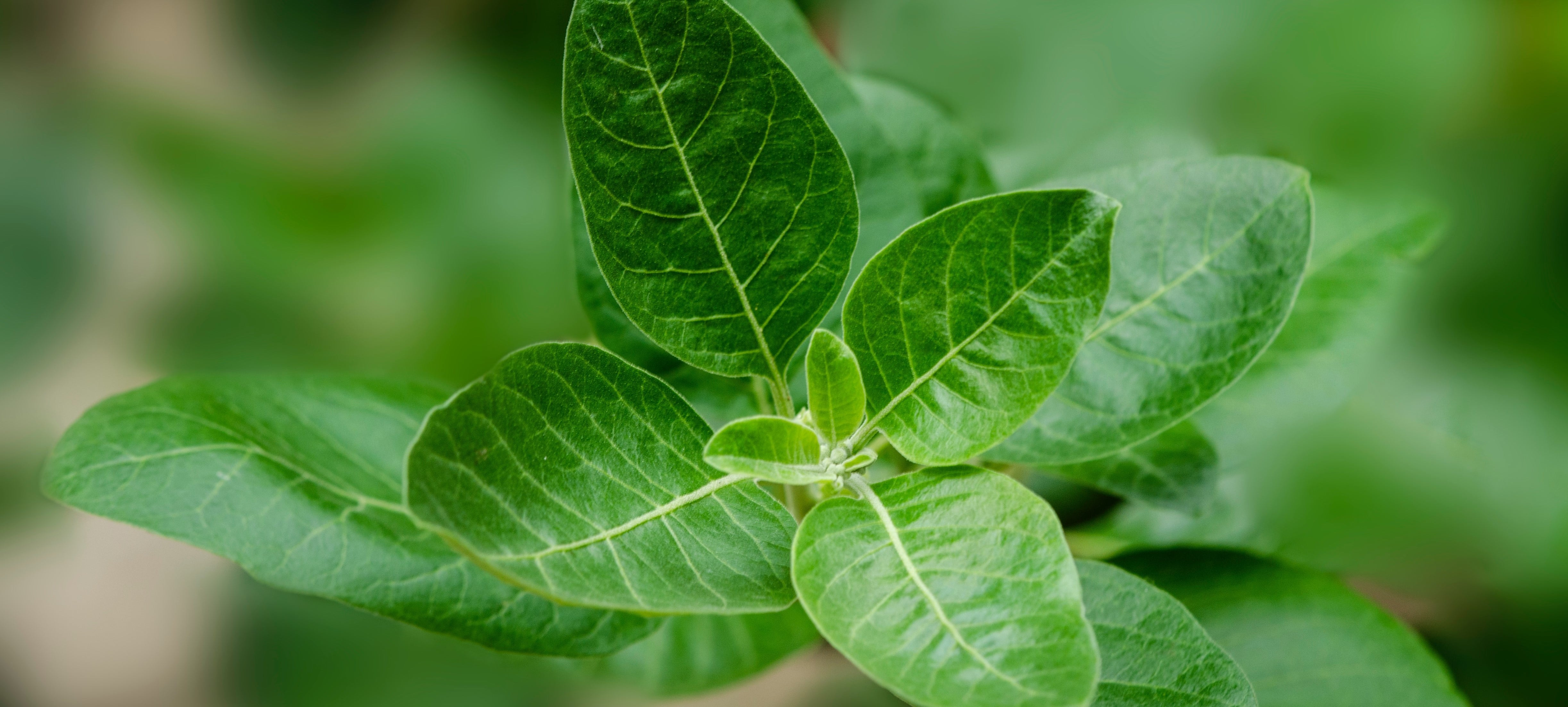 Blog about Ashwagandha, the picture shows the plant itself.